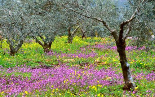 n Olive tree garden